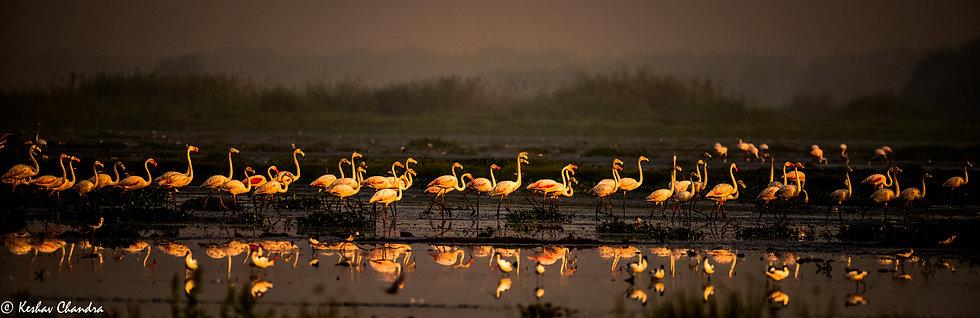 Flamingos Parade