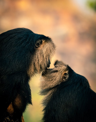 Lion-Tailed Macaque Kiss
