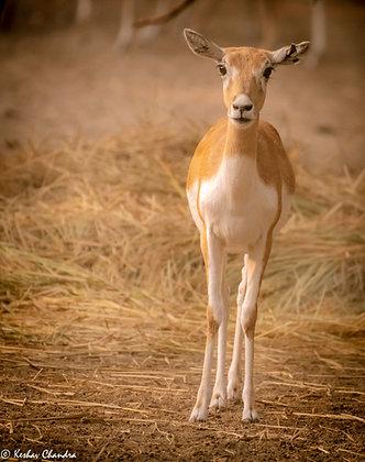 Innocent Dorcas Gazelle