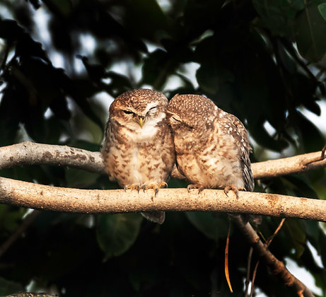Spotted Owlets (Sleepyhead)