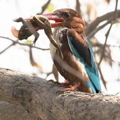White Throated Kingfisher With Catch