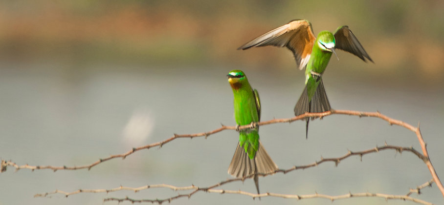 Green Bee-Eater Duo