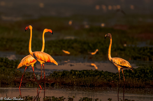 Flamingos (My Bae)