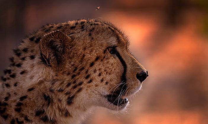 South-African Cheetah Close-up
