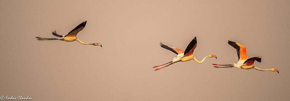 Flamingo Trio In Flight