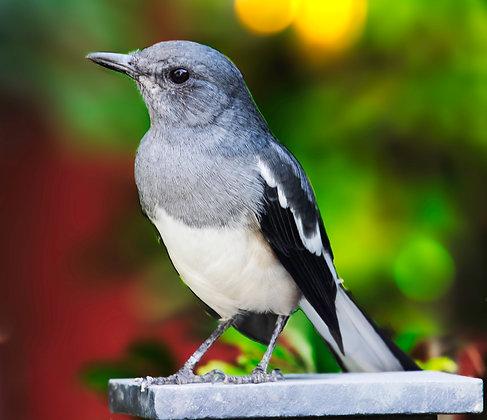 Juvenile Oriental Magpie-Robin