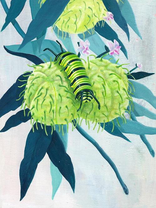 Gomphocarpus