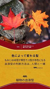 TIPS縦_紅葉植物の血液型.jpg