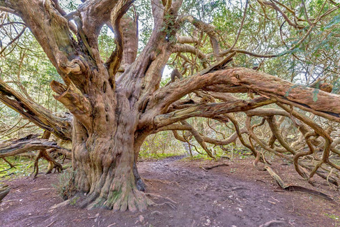 Ancient Yews