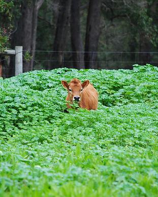 Jersey Calf in Grass