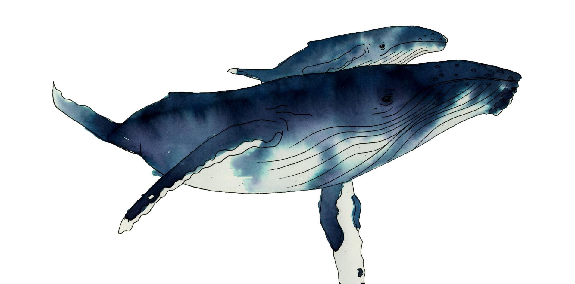humpback and calf