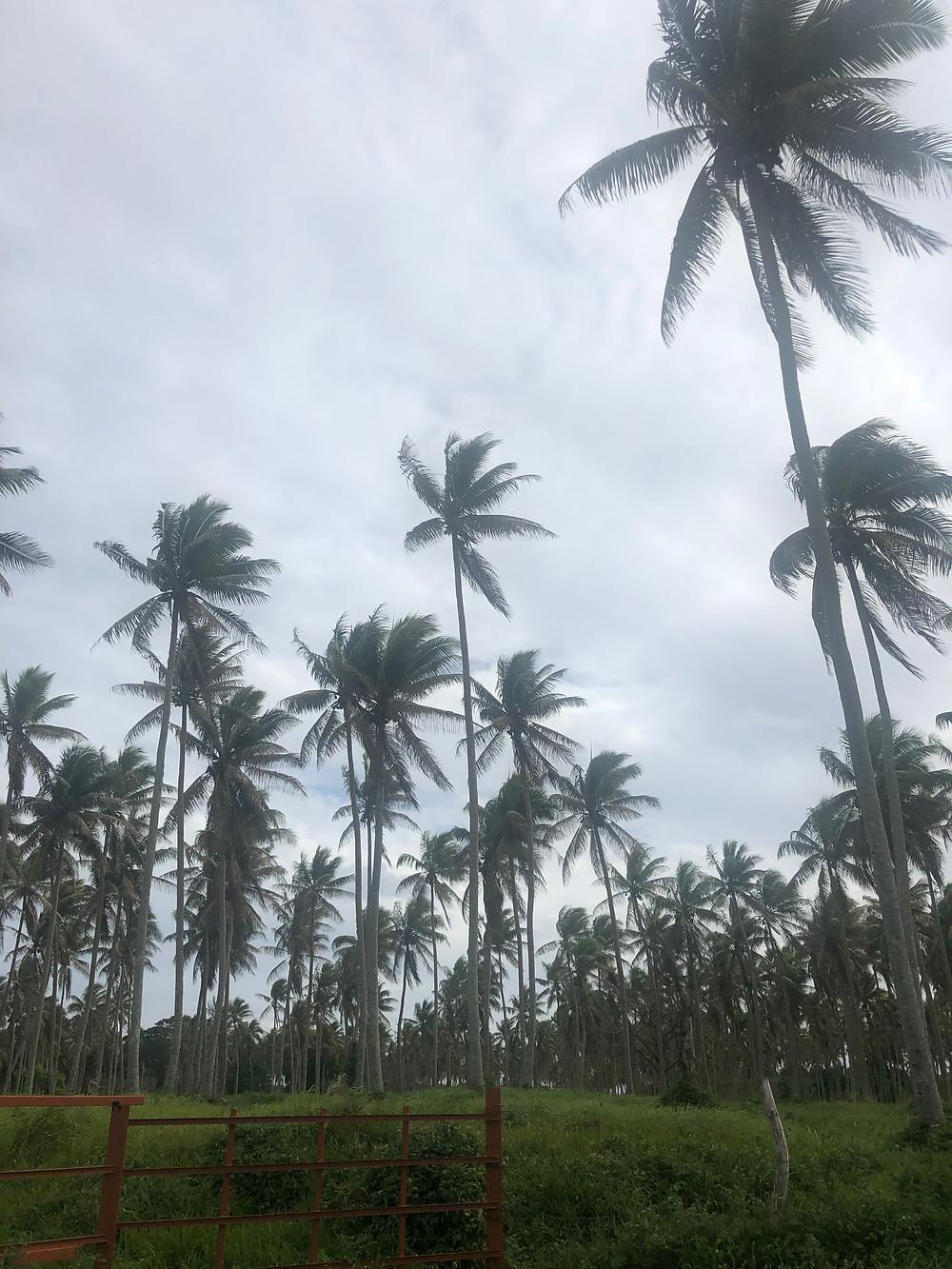 coconut-trees.jpg