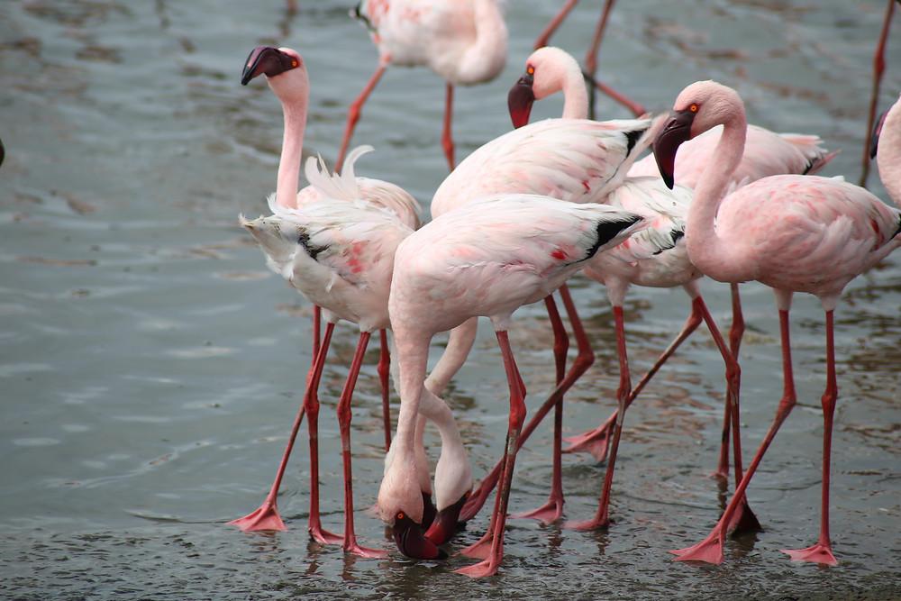 flamingos-namibia.jpg