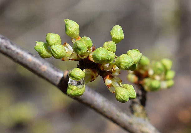 cherry-buds-bursting-2069590_960_720.jpg