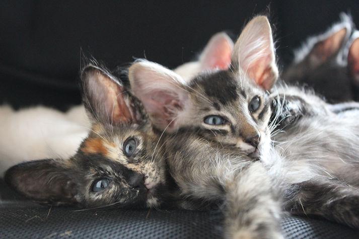 Khajiit and Loki Oriental longhair kittens