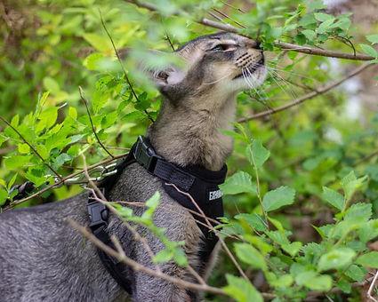 Black Ticked Tabby Oriental Longhair