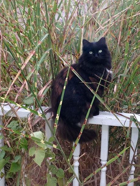 Barn cat Shadow