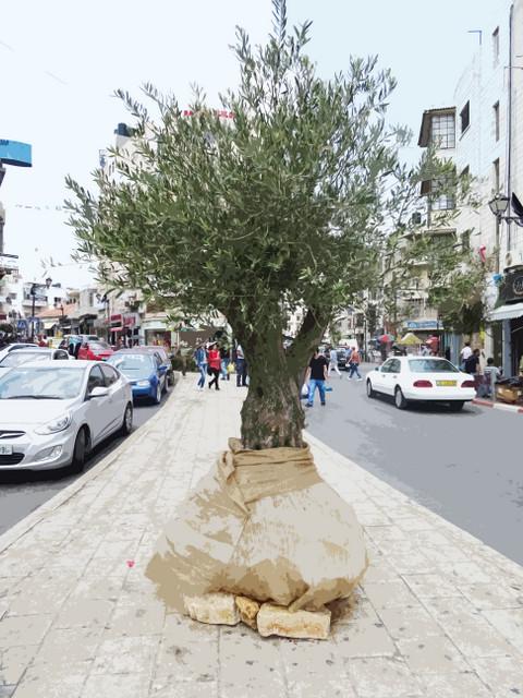 Olive Tree Ramallah