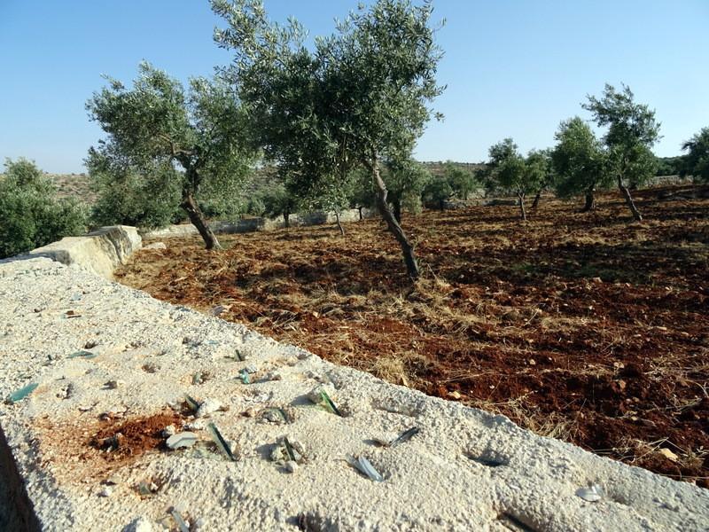 Olive Grove Palestine