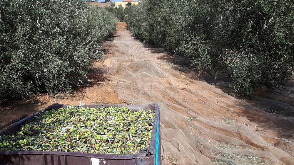 Olive Oil שמן זית