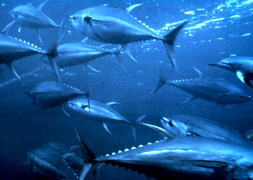 Yellowfin_tuna_nurp.jpg