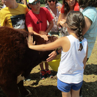 A la rencontre des bovins