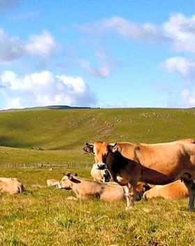 Plateaux de l'Aubrac avec troupeaux de vaches dans les grands espaces