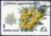 1599px-1980._Облепиха_крушиновидная.jpg