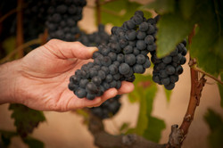 Winemaker hand with grapes.jpg