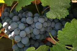 PINOT FOR THE PICKING