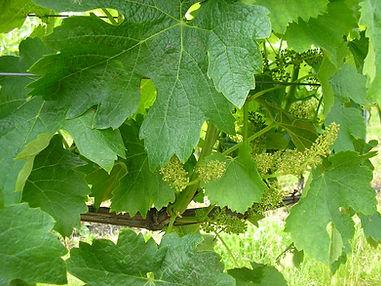 vigne chauraud, vignoble, feuilles de vignes