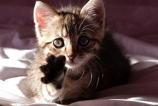 kinésiologie animale, chat, kinésiologie, bien-être animal