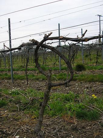 pratique culturale, taille de vigne, vigne, vignoble, culture viticole, évolution vigne