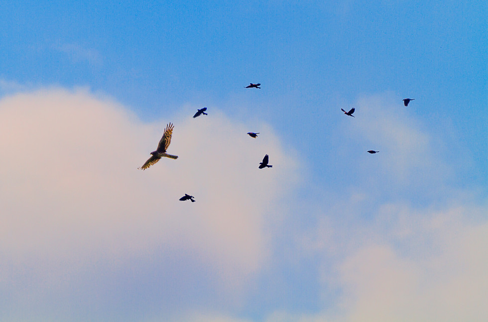 July 2017 Blackbirds chase a predator.jpg