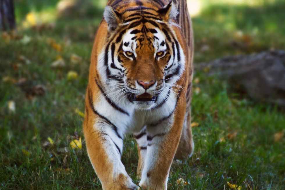 Zoo October 2017 Taiger Stare.jpg