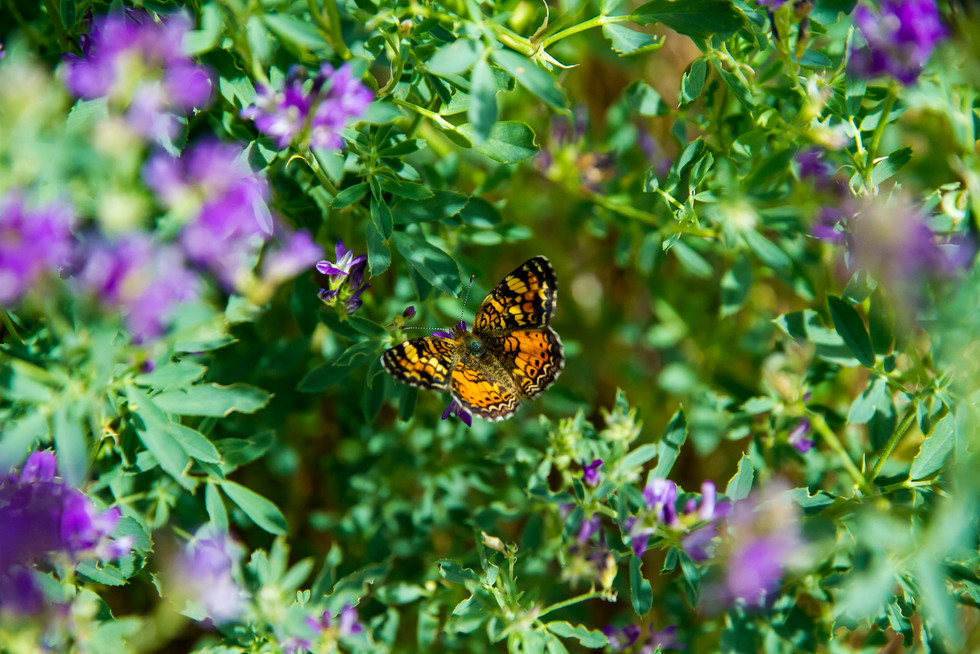 Aug 2017 Butterfly 4.jpg