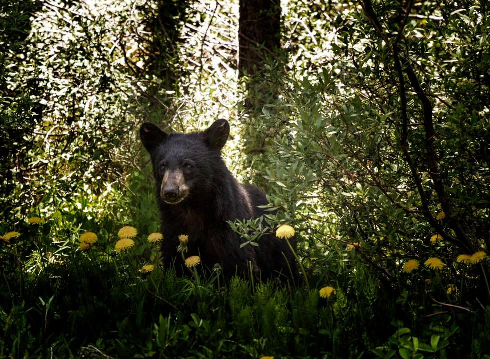2017 June 1A Baby Bear.jpg