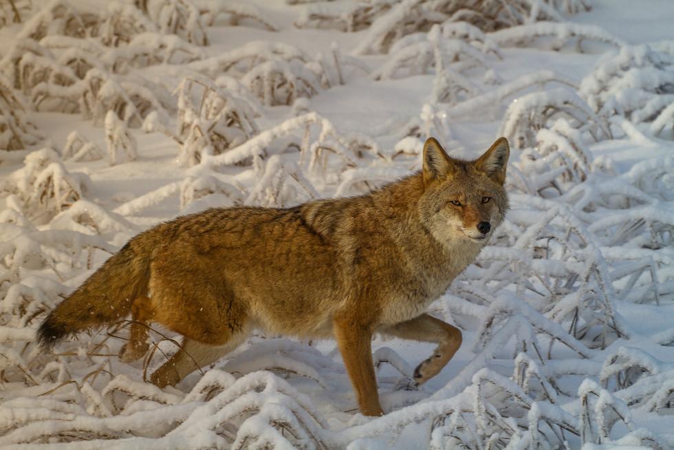 Dec 2017 Coyote 2.jpg