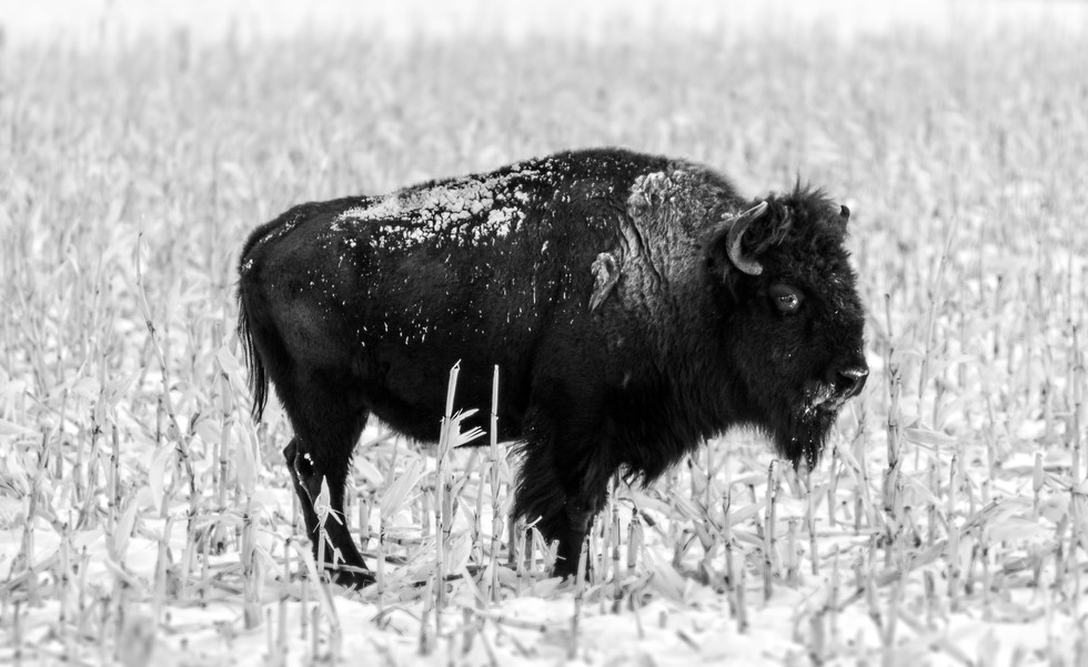 Jan 2018 Winter Bison.jpg
