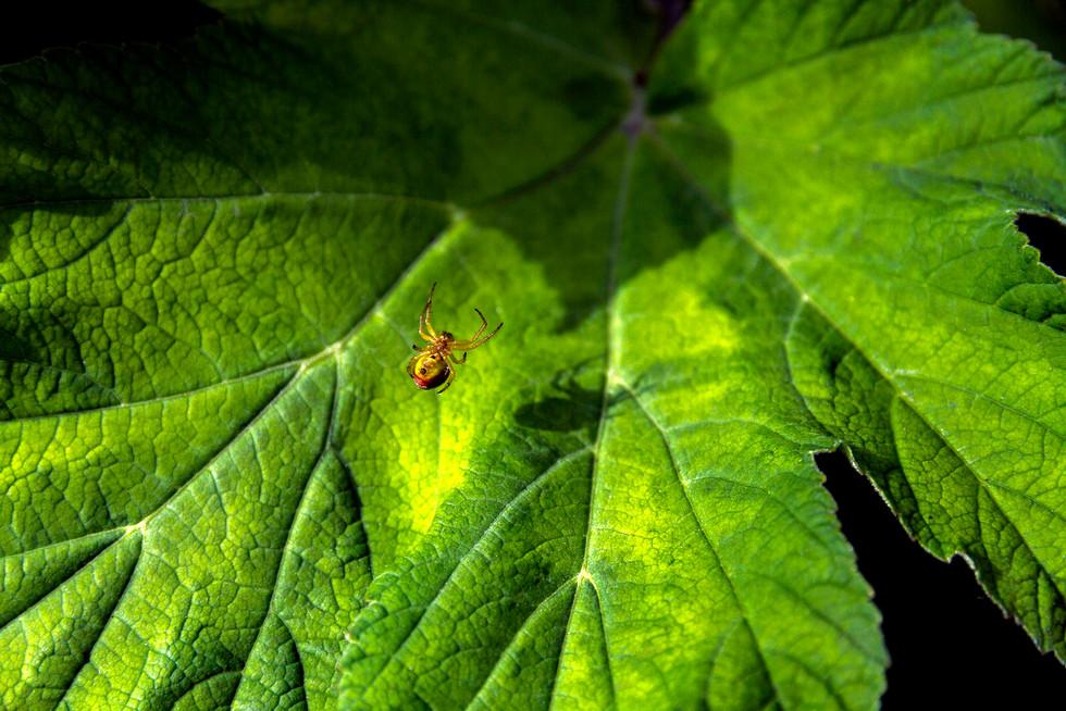 Spider on a leaf.jpg