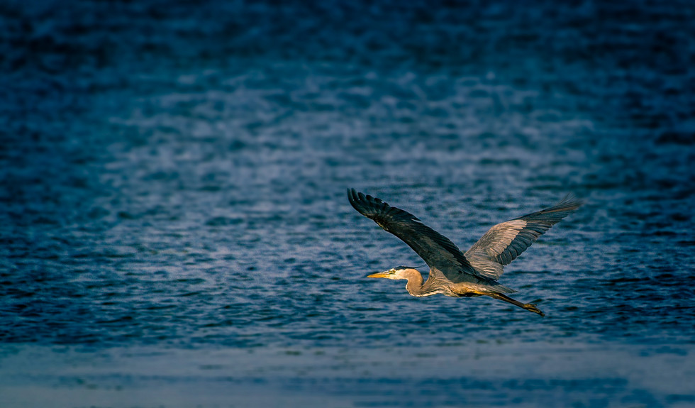 Great Blue Heron .jpg