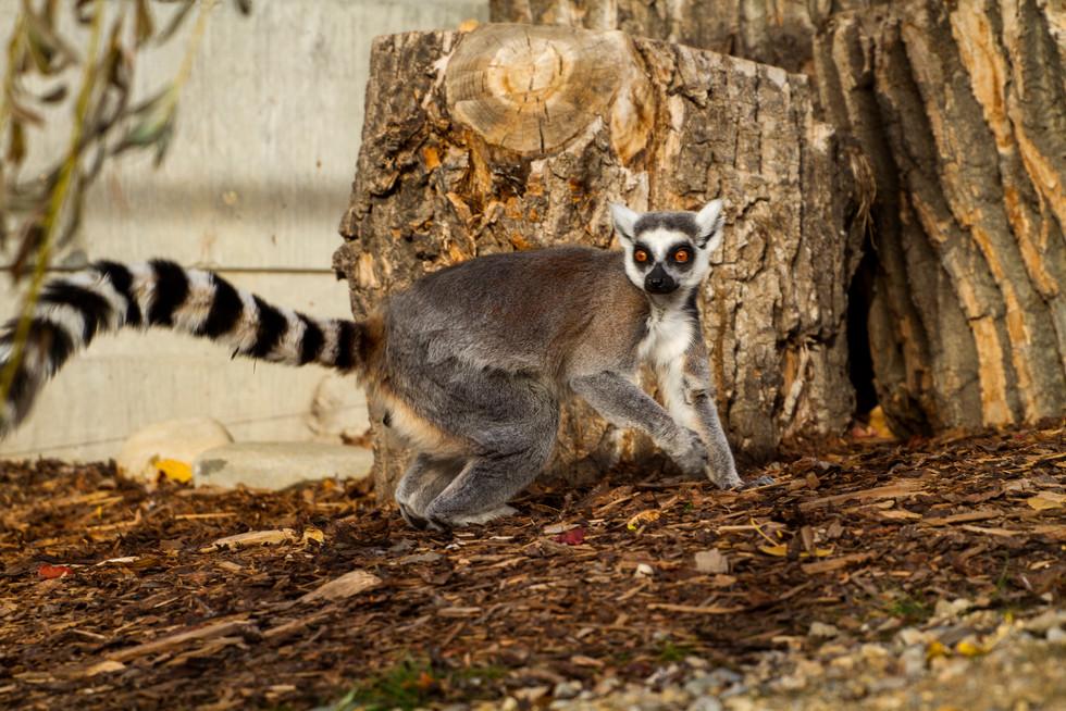 Zoo October 2017 Lemur 2.jpg