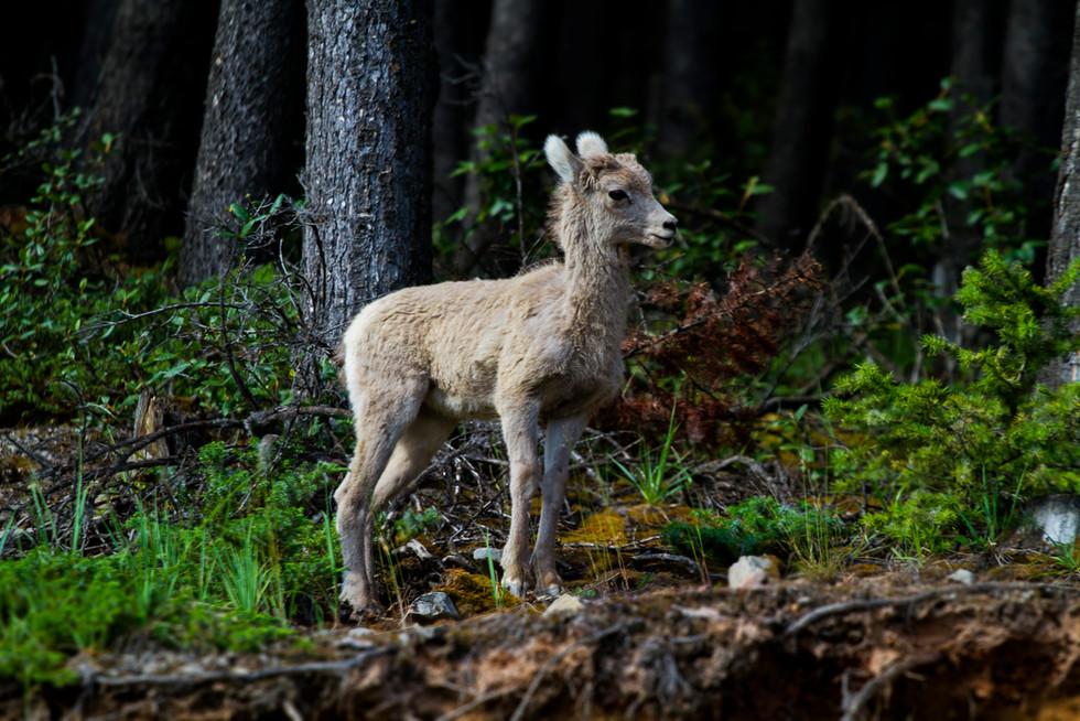 July 2017 Baby Mountain Sheep.jpg