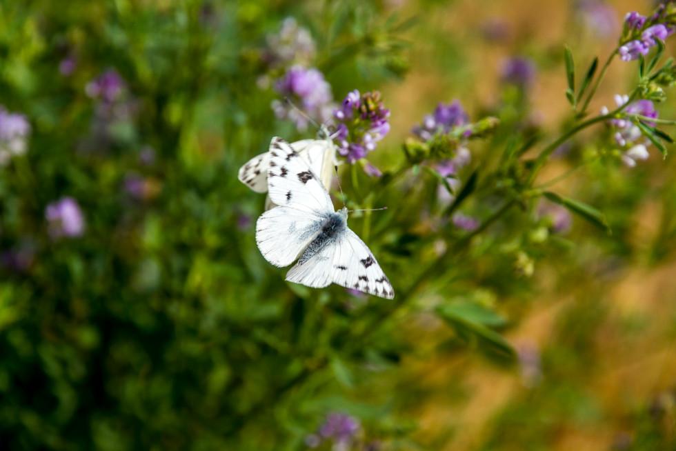 Aug 2017 Butterfly 2.jpg