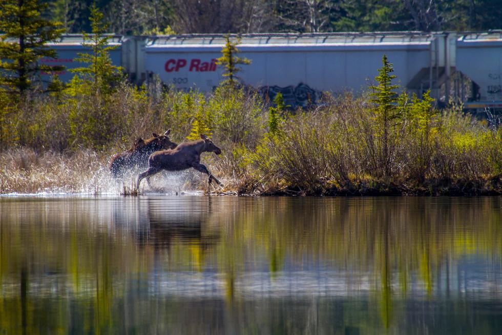 Running Moose.jpg
