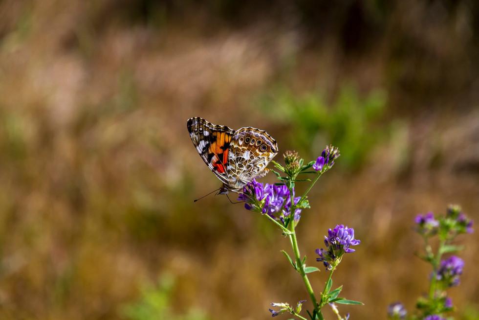 Aug 2017 Butterfly 1.jpg