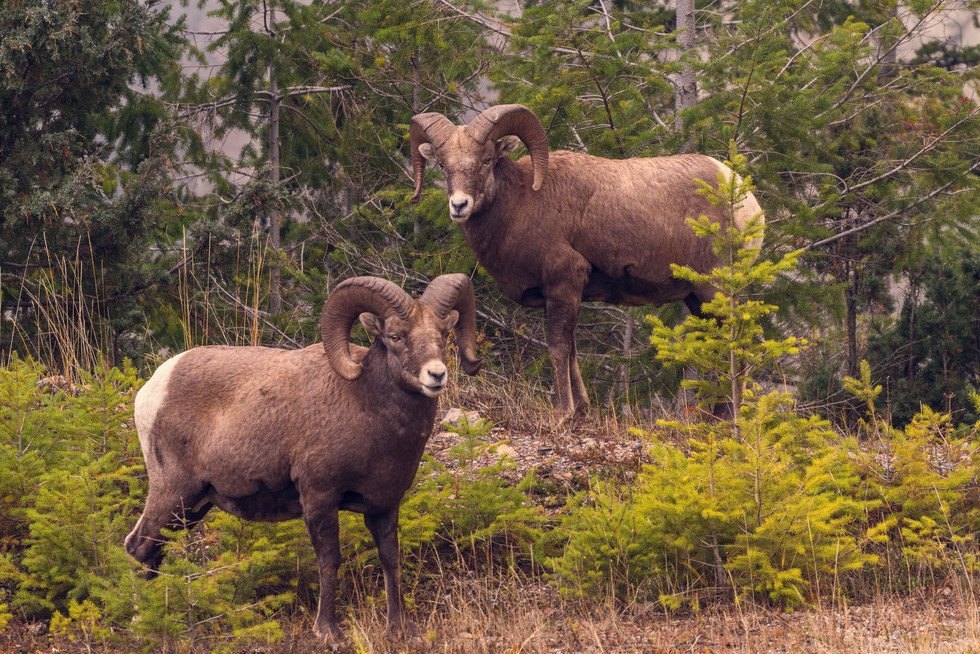 Oct 2017 Big Horn Sheep.jpg
