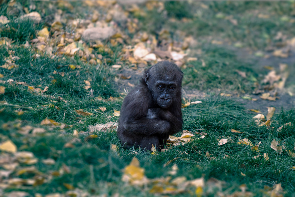 Zoo October 2017 Baby Gorilla.jpg