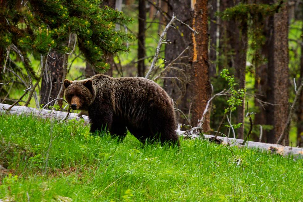 Grizzly Bear 1A 2.jpg