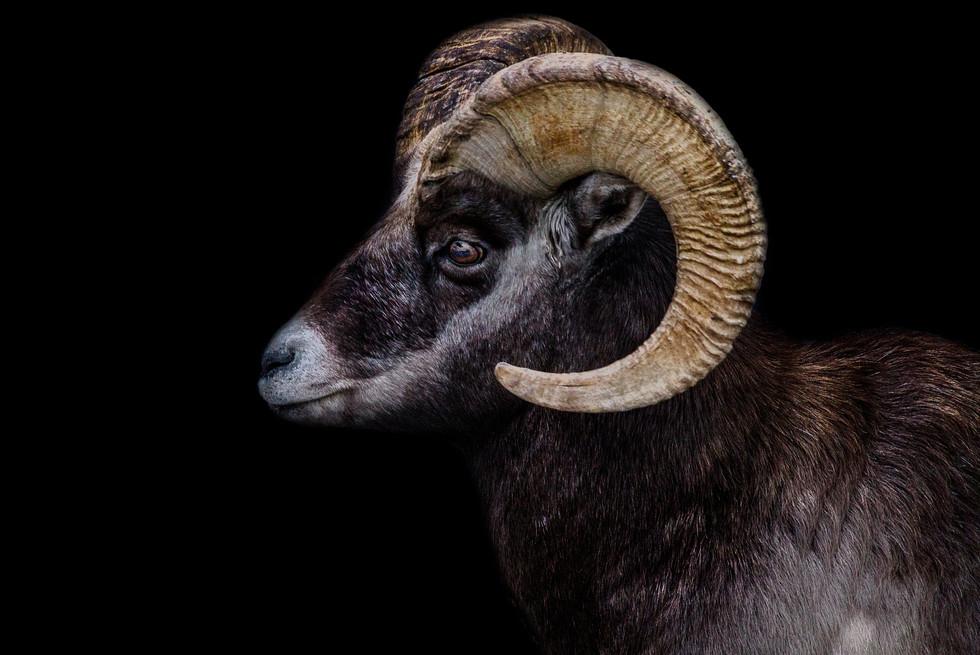Nov 2017 Mountain Sheep.jpg